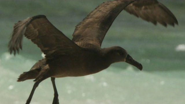 Albatross flying