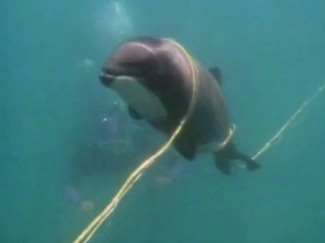Protective measures are a 'death sentence' for rare dolphin say campaigners