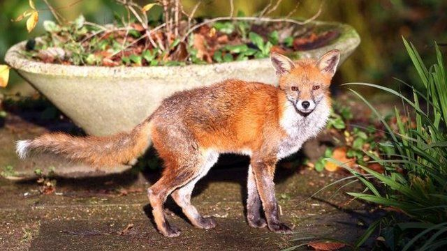 An urban fox - file picture