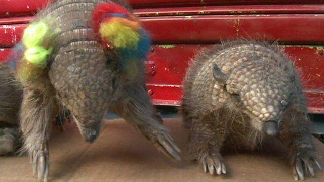 Quirquincho armadillos in Bolivia