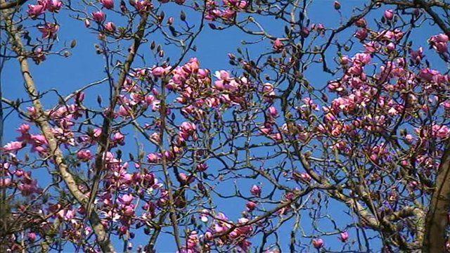 Magnolia blooms at Trebah Gardens