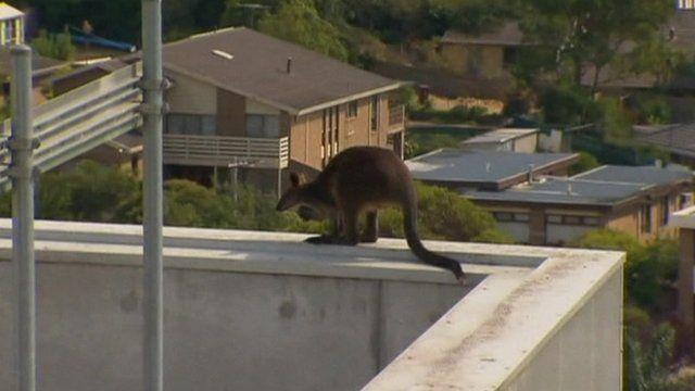 Watch the Kangaroo perched on he ledge