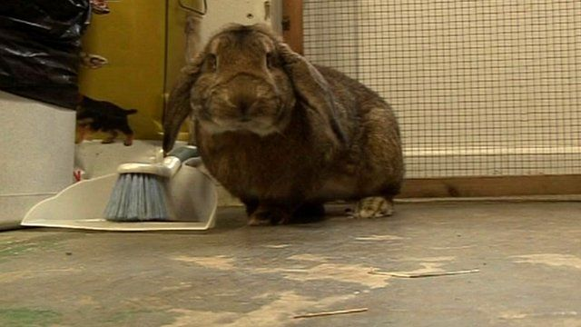The RSPCA shelter has taken in dozens of rabbits and guinea pigs
