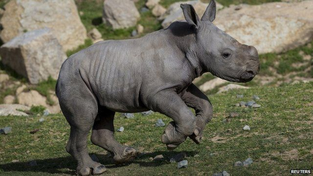 Kayode, baby southern white rhino