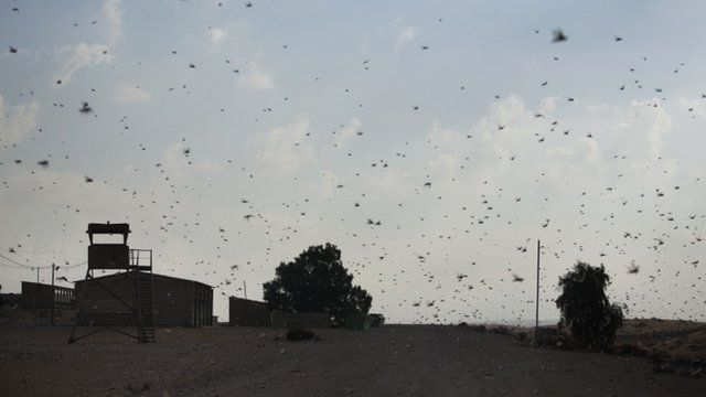 A swarm of locusts in the Negev Desert near the Egyptian border on 6 March 2013