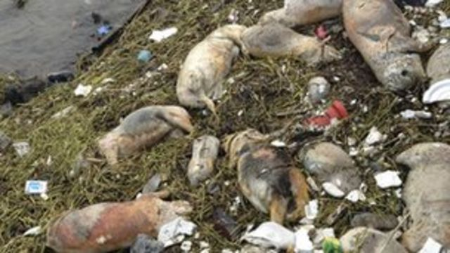 China pulls 1,000 dead ducks from Sichuan river