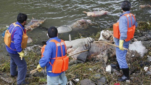 Cleaning workers retrieve the carcasses of pigs from a branch of Huangpu River