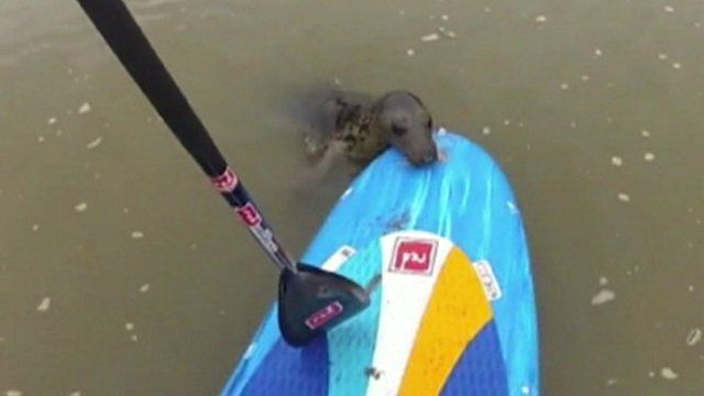 Keith the seal with paddle boarder Tristan Bawn