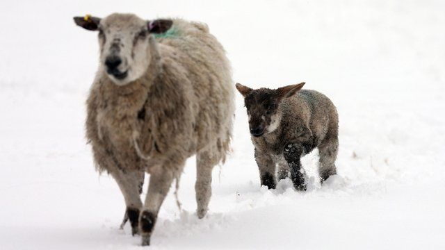 A spring lamb follows its mother