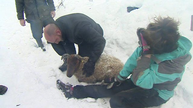 Farmers rescue a sheep on the Isle of Man