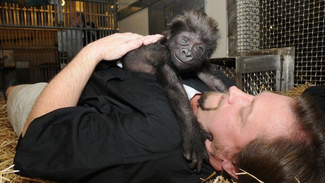 Zookeeper Ron Evans with baby gorilla Gladys