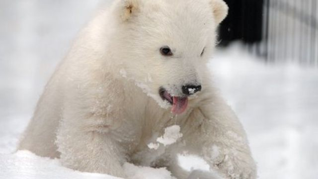 Kali the polar bear cub