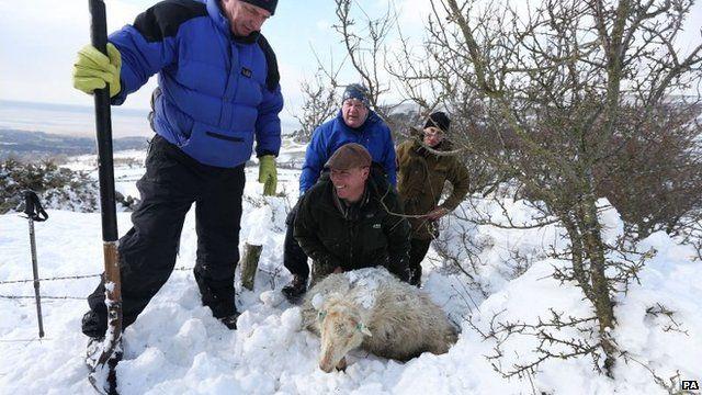 Farmers search for sheep under snow in Llanfairfechan