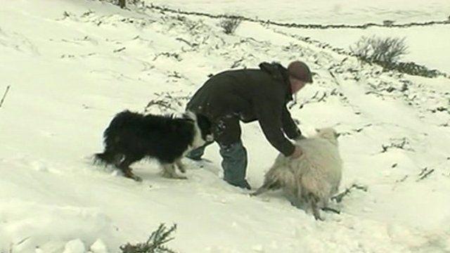 Lamb in snow