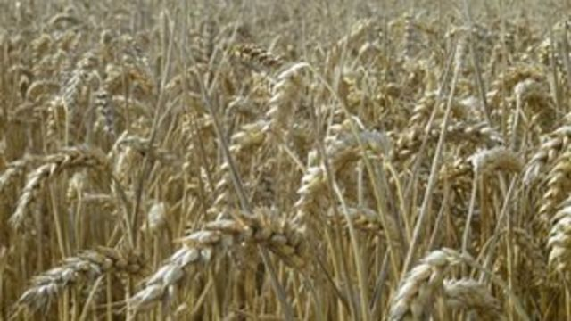 Britain 'running out of wheat' owing to bad weather