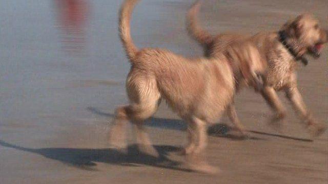 Dogs running on Portrush beach