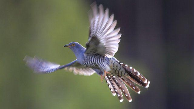 A cuckoo in flight