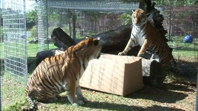 Tigers playing with a cardboard box.