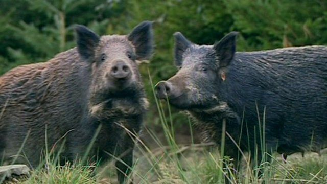 Wild boar cull planned for Forest of Dean