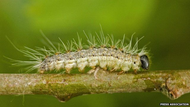 Poisonous moth caterpillar: 'do not touch it'