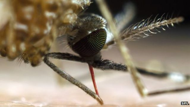 Malaria hope: Bacteria that make mosquitoes resistant