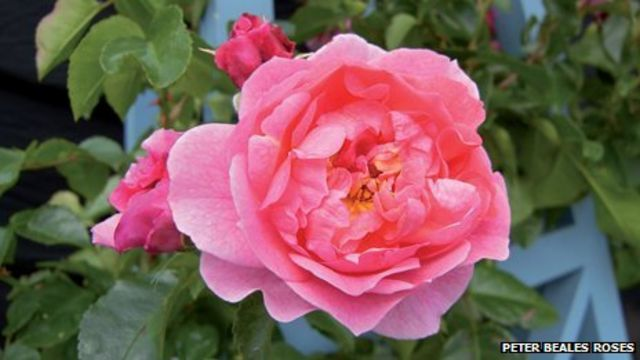 Chelsea Flower Show: Peter Beales Roses wins gold