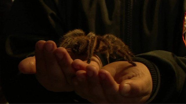 Chilean tarantulas prove popular pets for spider lovers