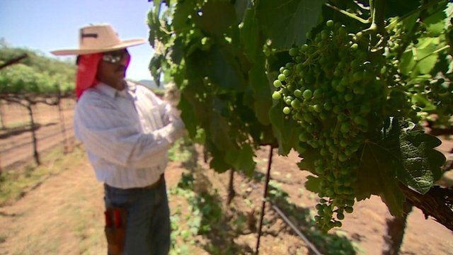 Man picks grapes in vineyard