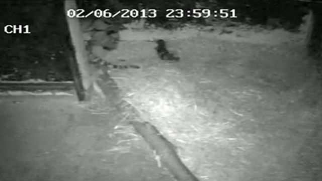 Watch the amazing moment the tiger gives birth