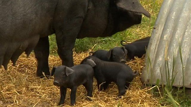Litter of rare lop eared large black pigs