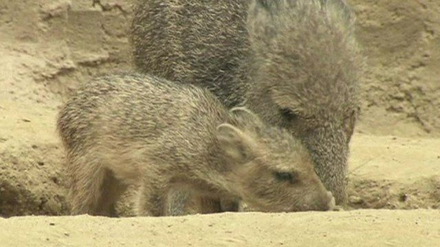 Rare baby peccaries at San Diego Zoo