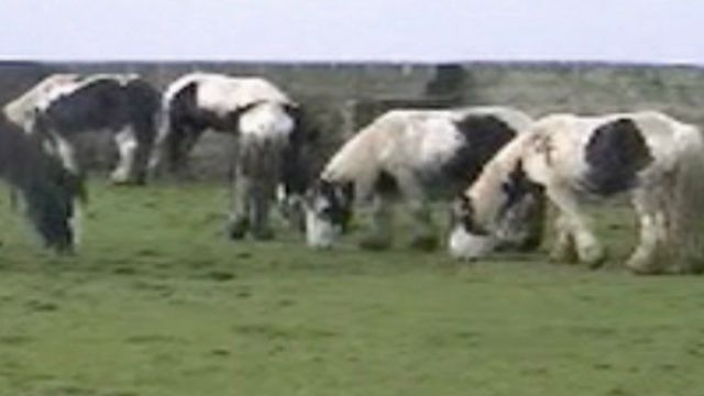 Gypsy Cob ponies owned by Vale of Glamorgan horse trader Tom Price