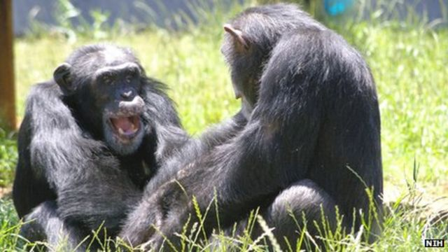 Chimpanzees to retire from US government research