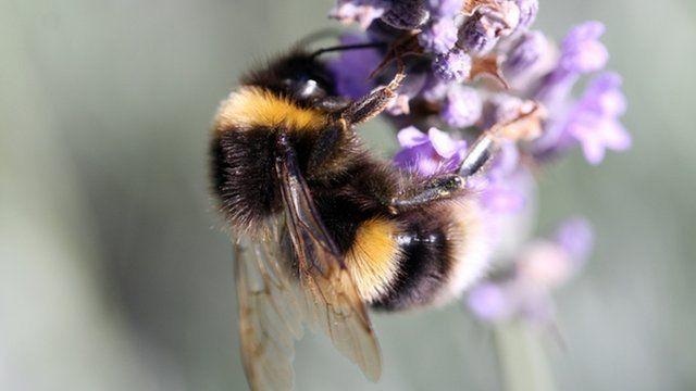 Bumblebee (c) BBC