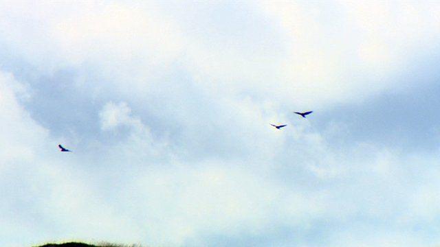 Hen harriers