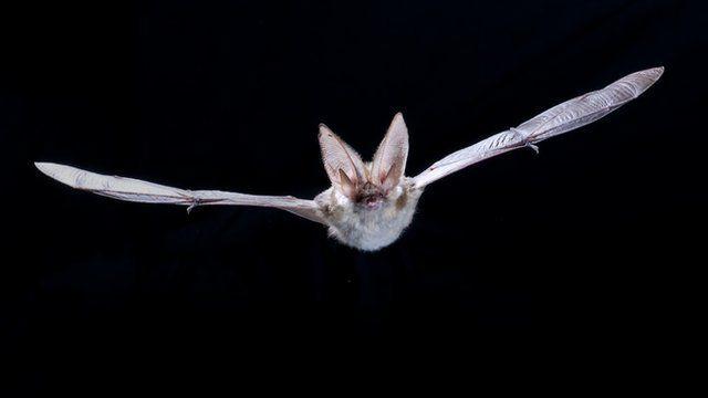 Grey long-eared bat (c) Anton Alberdi