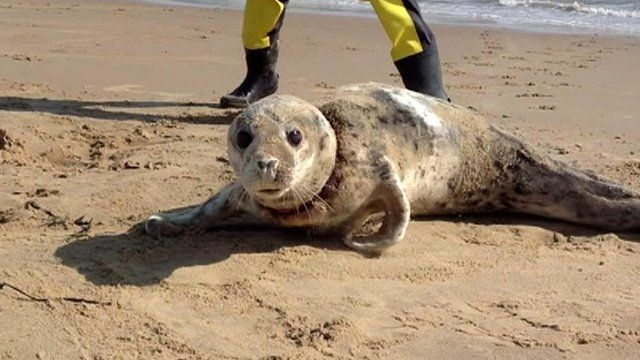 Seal on Scroby Sands