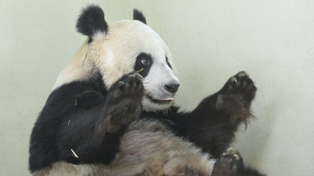 Is Tian Tian pregnant?
