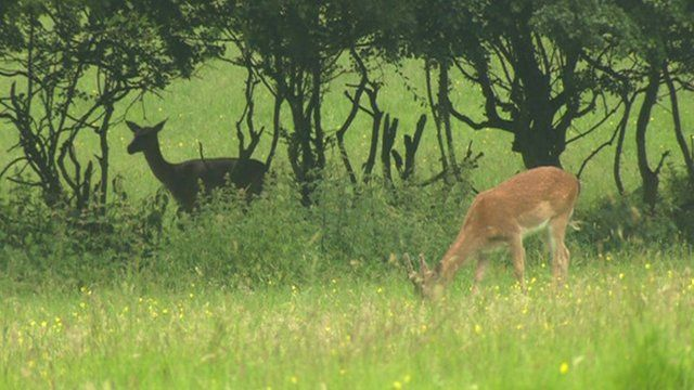 Deer in Havering