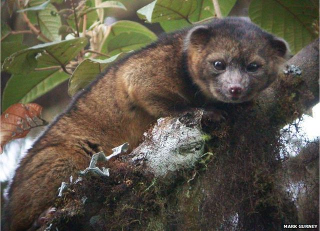 Olinguito: 'Overlooked' mammal carnivore is major discovery