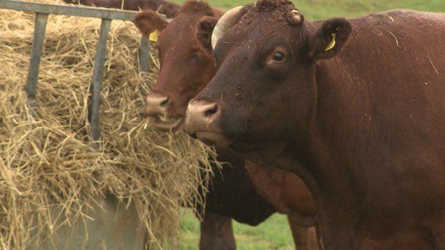 Cows on a farm