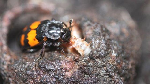 Beetles eat greedy offspring Edinburgh University research finds