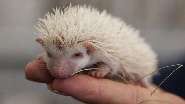 A visitor holds one of the albino hedgehogs