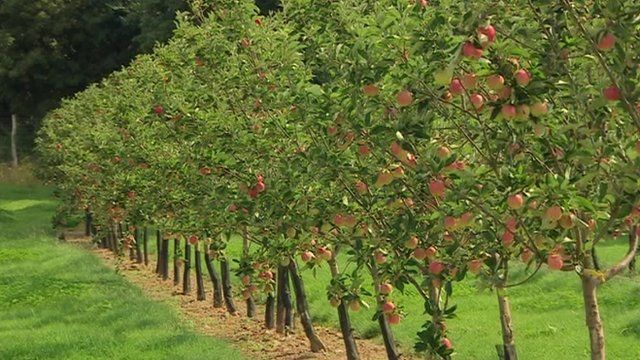 Cider apples growing in an orchard in North Somerset