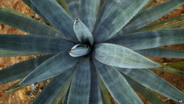 Mexico exports 100% blue agave tequila to China