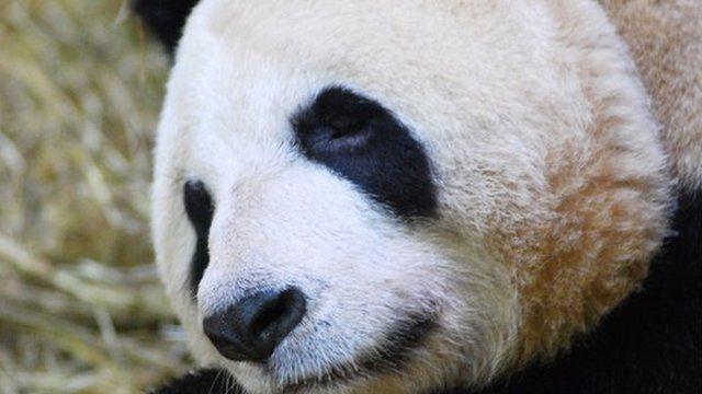 Tian Tian the giant panda