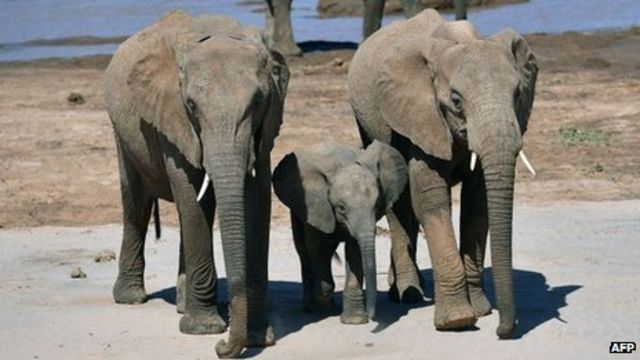 Zimbabwe elephants poisoned by cyanide