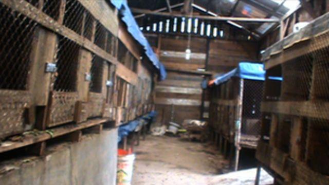 Civet cat coffee's animal cruelty secrets