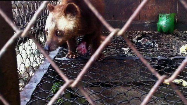 Caged civet cat