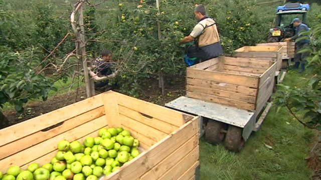 Migrant workers picking apples in Kent